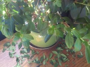 Miss Azalea dry leaves