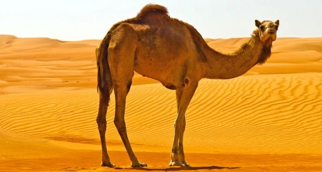 bm_camel_free